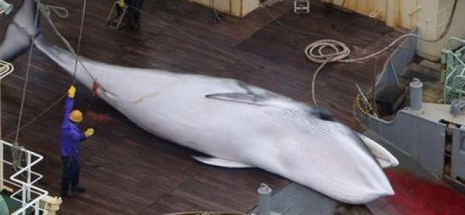 Japanese Whalers Return Empty-Handed
