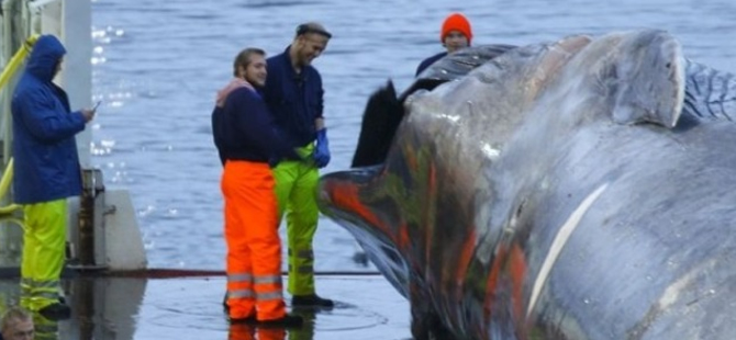 Sea Shepherd: Icelandic Whalers Slaughter Blue Whale