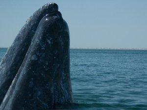 Humane Society International Slams Whaling Proposals