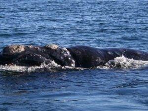 South Atlantic Whale Sanctuary Proposal Defeated
