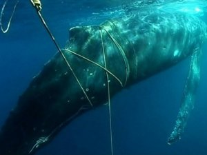 IWC Acts on Ocean Noise and Whale Bycatch