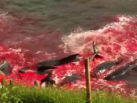 [Watch] Denmark Allows Slaughter of Pilot Whales