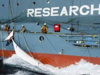 Japanese Whalers Fined $1 Million in Australia