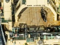 Japanese Whaling Fleet Located in Australian Sanctuary