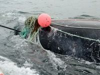 Canada Fisherman Killed By Whale After Rescuing It From Net