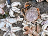 Thousands of Starfish Die by Cold Wave