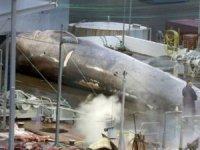 AWI: Hybrid Blue-Fin Whale was Protected