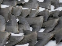 Captain of Spanish Longliner Charged with Shark Finning