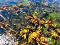 New seaweed research